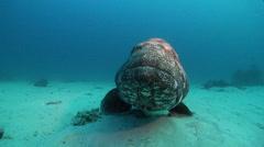 Malabar grouper turning around, Epinephelus malabaricus, HD, UP24669 Stock Footage