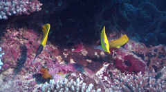 Forcepsfish swimming, Forcipiger flavissimus, HD, UP24679 Stock Footage