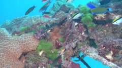 Moon wrasse swimming on wreckage, Thalassoma lunare, HD, UP24722 Stock Footage