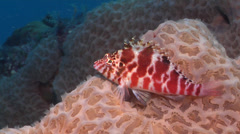 Spotted hawkfish, Cirrhitichthys aprinus, HD, UP24723 Stock Footage