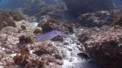 Southern calamari laying eggs, Sepioteuthis australis, HD, UP24743 - stock footage