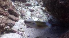 Southern calamari swimming, Sepioteuthis australis, HD, UP24744 - stock footage