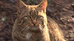 Wild cat is watching prey Stock Footage