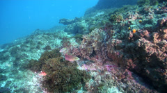 Common reef octopus walking on rocky reef, Octopus cyanea, HD, UP24773 Stock Footage