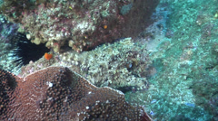 Common reef octopus waking up on rocky reef, Octopus cyanea, HD, UP24774 Stock Footage
