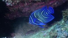Juvenile Semicircle angelfish swimming, Pomacanthus semicirculatus, HD, UP24779 Stock Footage