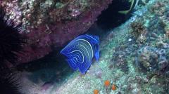 Juvenile Semicircle angelfish swimming, Pomacanthus semicirculatus, HD, UP24780 Stock Footage