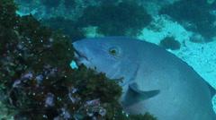 Eastern blue grouper hunting, Achoerodus viridis, HD, UP24783 Stock Footage