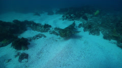 Ornate wobbegong shark swimming on rocky reef, Orectolobus ornatus, HD, UP24784 - stock footage