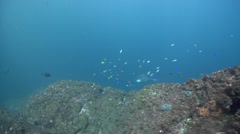Spotted eagle ray swimming on rocky reef, Aetobatus ocellatus, HD, UP24793 Stock Footage