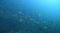 Yellowfin goatfish swimming and schooling on rocky reef, Mulloidichthys Stock Footage