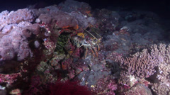 Painted spiny lobster at night, Panulirus versicolor, HD, UP24898 Stock Footage