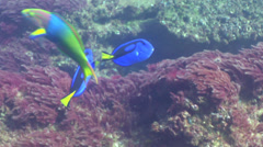 Palette surgeonfish swimming, Paracanthurus hepatus, HD, UP24923 Stock Footage