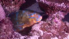 Bluebarred parrotfish sleeping at night, Scarus ghobban, HD, UP24934 Stock Footage