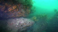 Orange-spotted grouper on rocky reef covered in seaweed and kelp, Epinephelus Stock Footage