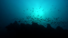 Ocean scenery pomfreds and other fish and anchor chain, on rocky reef, HD, Stock Footage