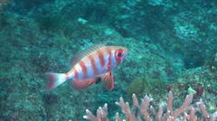 Crescent-tail bigeye hovering, Priacanthus hamrur, HD, UP24956 Stock Footage