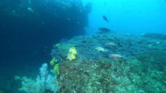 Beaked coralfish swimming, Chelmon rostratus, HD, UP24960 Stock Footage