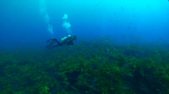 Buddy team of scuba divers swimming on rocky reef covered in seaweed and kelp Stock Footage