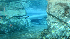 As Cephalorhynchus commer under water float. SeaWorld Orlando an amusement park. Stock Footage