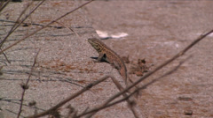 A side-blotched lizard at Anacapa Island in Channel Islands National Park Stock Footage
