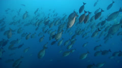 Sixplate sawtail swimming and schooling, Prionurus microlepidotus, HD, UP24999 - stock footage