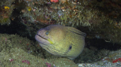 Yellow-mouth eel, Gymnothorax nudivomer, HD, UP25005 Stock Footage