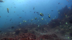 Moorish idol swimming on rocky reef, Zanclus cornutus, HD, UP25021 Stock Footage