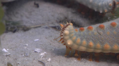 Spotted seastar walking on seagrass meadow, Pentaceraster regulus, HD, UP25029 Stock Footage