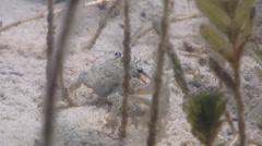 Unidentified seagrass sand crab feeding on seagrass meadow, Thalamita sp., HD, Stock Footage