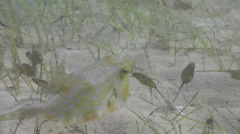 Eel grass swimming on seagrass meadow, Halodule uninervis, HD, UP25050 Stock Footage