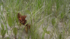 Spikey orange slug on seagrass meadow, Kaloplocamus ramosus, HD, UP25056 Stock Footage