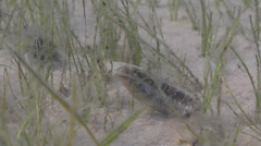 Wolf fangblenny on seagrass meadow, Petroscirtes lupus, HD, UP25057 Stock Footage