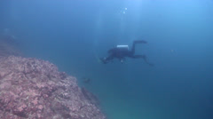 Lone diver swimming on rocky reef with Galapagos sea lion in Galapagos Islands Stock Footage