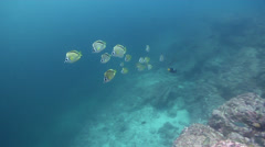 Barberfish swimming and schooling on rocky reef, Johnrandallia nigrirostris, HD, Stock Footage