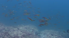 Cortez rainbow wrasse spawning and schooling on rocky reef, Thalassoma Stock Footage
