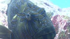 Giant hawkfish swimming on rocky reef, Cirrhitus rivulatus, HD, UP25103 Stock Footage