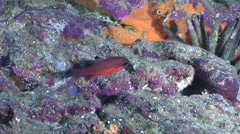 Blacktip cardinalfish hovering on rocky reef, Apogon atradorsatus, HD, UP25113 Stock Footage