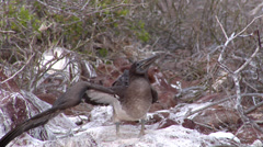 Juvenile Blue-footed booby flapping wings, Sula neboxuii, HD, UP25158 Stock Footage