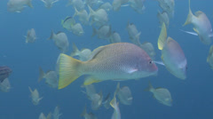 Amarillo snapper swimming, Lutjanus argentiventris, HD, UP25200 Stock Footage