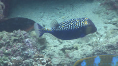 Spotted boxfish swimming on rocky reef, Ostracion meleagris, HD, UP25206 Stock Footage
