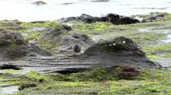 Darwin's ground finch feeding on rocky shore, Geospiza sp., HD, UP25230 - stock footage