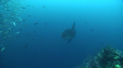 Black-striped salema swimming on rocky reef, Xenocys jessiae, HD, UP25277 Stock Footage