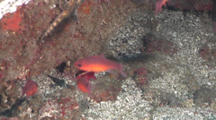 Blacktip cardinalfish swimming on rocky reef, Apogon atradorsatus, HD, UP25286 Stock Footage