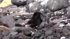 Flightless cormorant preening on rocky shore, Phalacrocorax harrisi, HD, UP25303 - stock footage