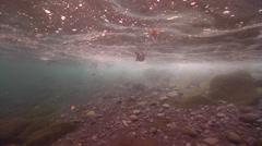 Flightless cormorant swimming on rocky shore, Phalacrocorax harrisi, HD, UP25311 - stock footage