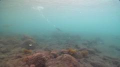 Flightless cormorant swimming on rocky reef, Phalacrocorax harrisi, HD, UP25320 Stock Footage