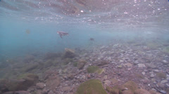 Galapagos penguin swimming on rocky shore, Spheniscus mendiculus, HD, UP25332 Stock Footage