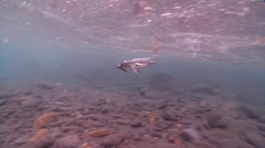 Galapagos penguin swimming on rocky shore, Spheniscus mendiculus, HD, UP25335 Stock Footage