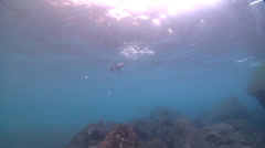 Galapagos penguin swimming on rocky reef, Spheniscus mendiculus, HD, UP25336 Stock Footage